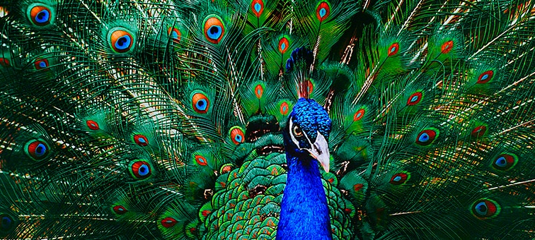 Image of peacock showing 8K picture detail
