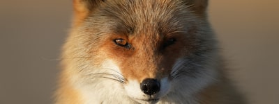 A fox looking forward
